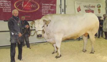 Carrù, Fiera del Bue Grasso: Vallino da record con Trono (1.582 kg!), Manzo re della tradizione