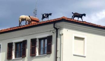 Beinette: caprette sul tetto delle case